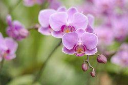 Auch Orchideen können von Wollläusen befallen werden.