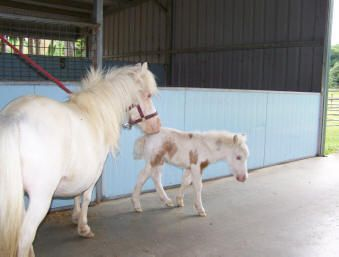 tours to see miniature horses and miniature cows in the goldcoast hinterland, northern nsw australia