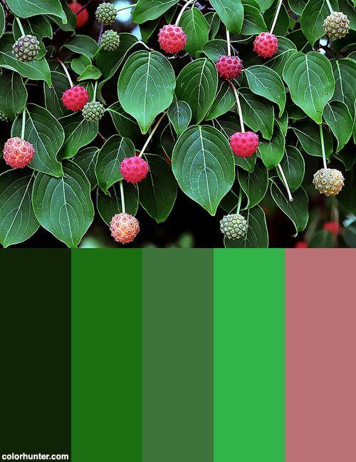 "Cincinnati – Spring Grove Cemetery & Arboretum ""milky Way Chinese Kousa Dogwood - Fruit"" Color Scheme from colorhunter.com"