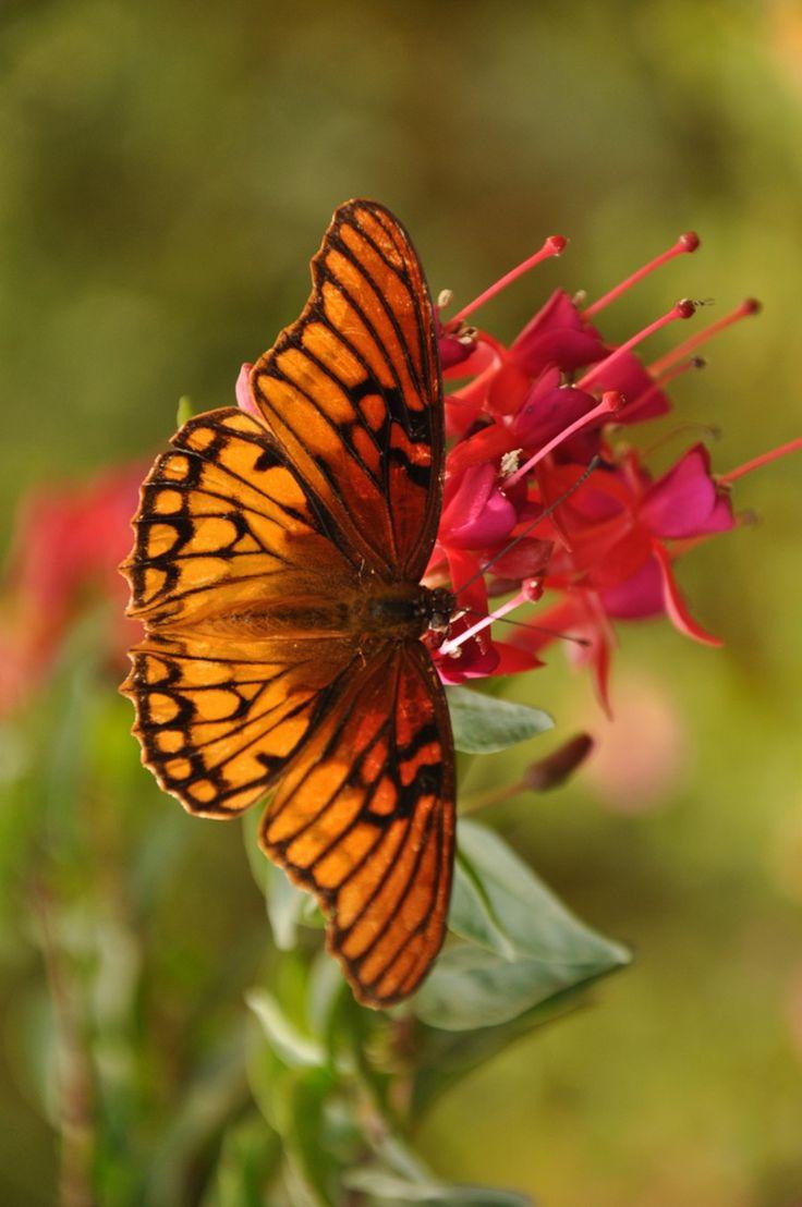 Wallpaper download Butterfly Gulf Fritillary Free HD Download