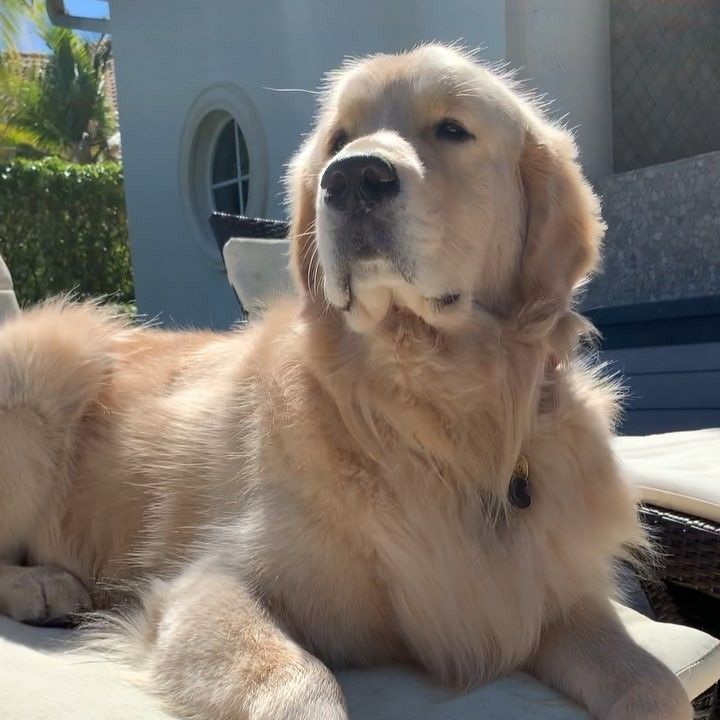 Wallace The Golden On Instagram Is That Chimken I Smells Gots