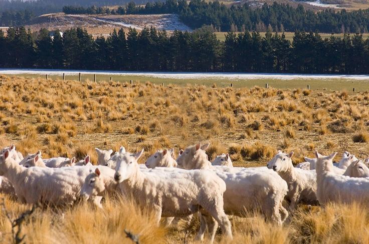 Just Shorn -- #NZWool Carpet -- @Campaign for Wool New Zealand #Brandpartner