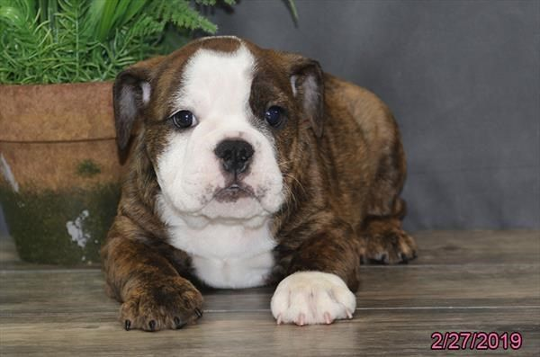 Petland Overland Park Has Bulldog Puppies For Sale Check Out All