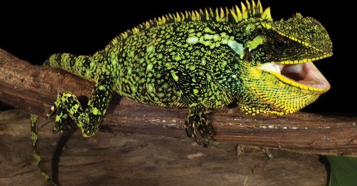 Três novas espécies de lagartos anões com a forma de dragão foram descobertas nos Andes equatorianos e peruanos por cientistas do Equador, Peru e Estados Unidos. Elas são diferentes de seus parentes mais próximo em termos de tamanho, cor e DNA. Os três lagartos pertencem ao gênero Enyalioides, que são diurnos e vivem em selvas tropicais, como Chocó ou a parte ocidental da bacia amazônica, e nas florestas nubladas dos Andes. Os cientistas classificaram a descoberta de surpreendente, já que…