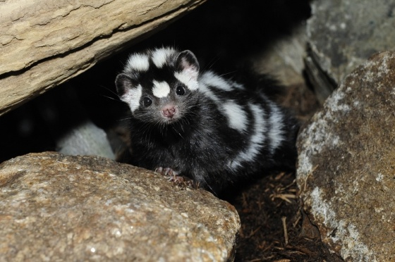 spotted skunk!: Creatures Cutie, Westerns Spots, Baby Spots, Wild Places, God Creatures, Animal Photos, Animal Wildlife, Spots Skunks, Saving Wildlife