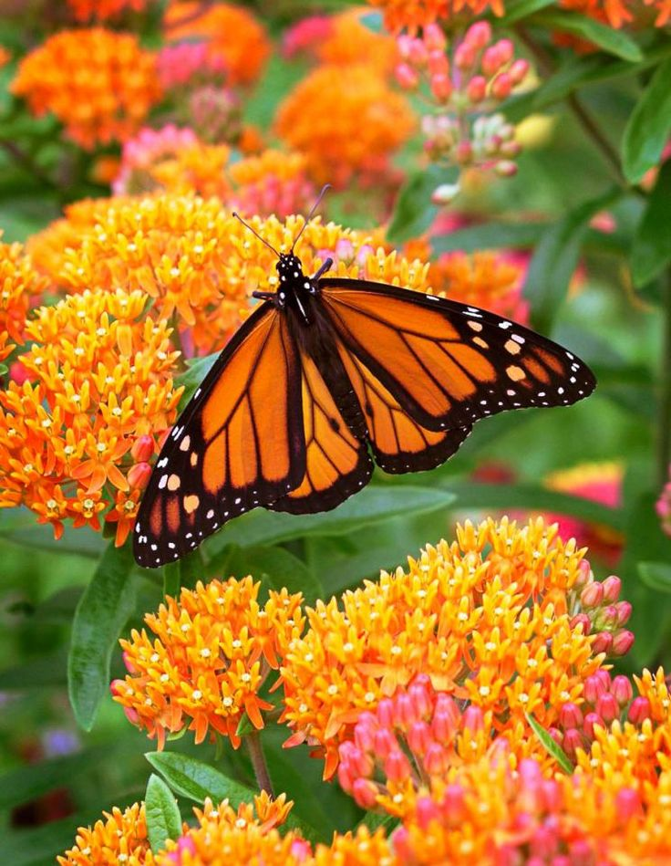 Butterfly weed (Asclepias tuberosa) or milkweed is as easy to grow as a weed but much prettier, plus hummingbirds and butterflies (especially monarchs) adore it! More top Midwest perennial flowers: http://www.midwestliving.com/garden/flowers/easy-flowers/?page=9