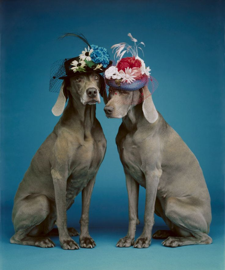 Sunday Best, 1994/2010  by William Wegman  Photograph