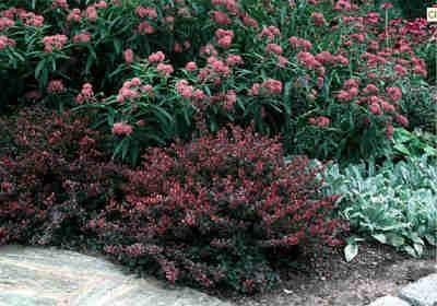 Berberis Thunbergii Crimson Pygmy Barberry Type Shrub