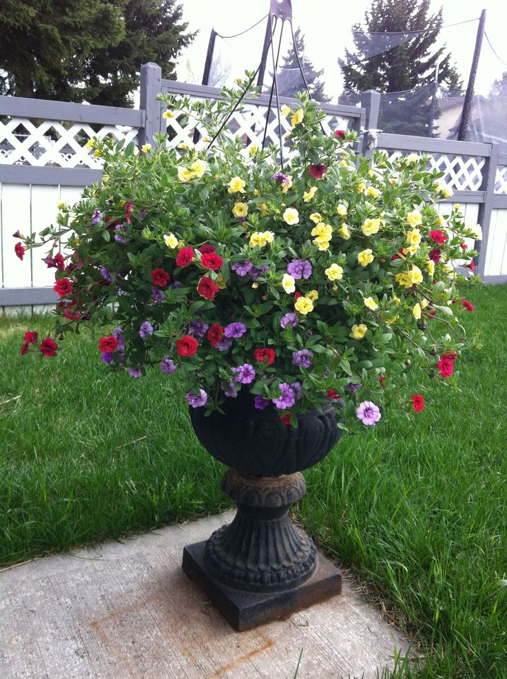 Flower Varieties For Hanging Baskets : Best images about hanging basket flowers on