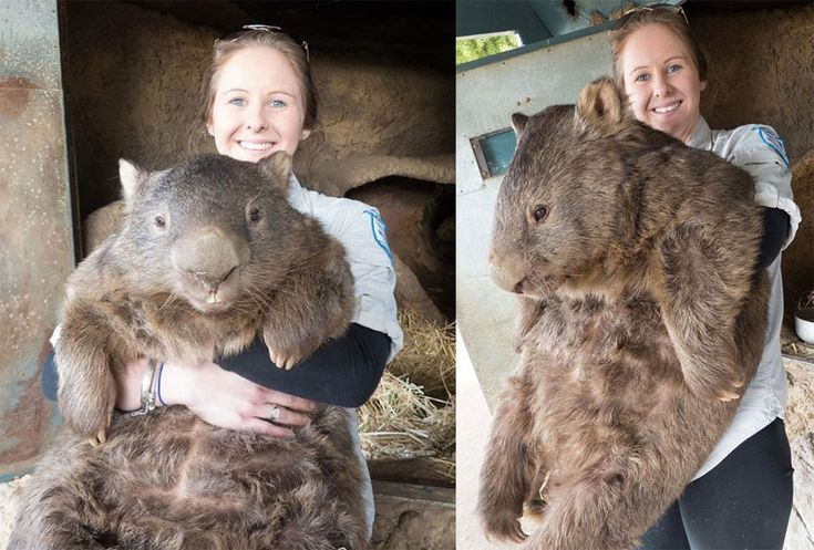 At 84 pounds (38 kg) and 29 years of age, Patrick is the world's oldest and largest known living common Wombat (Vombatus ursinus). This is his story.   Photograph by Ballarat Wildlife P...