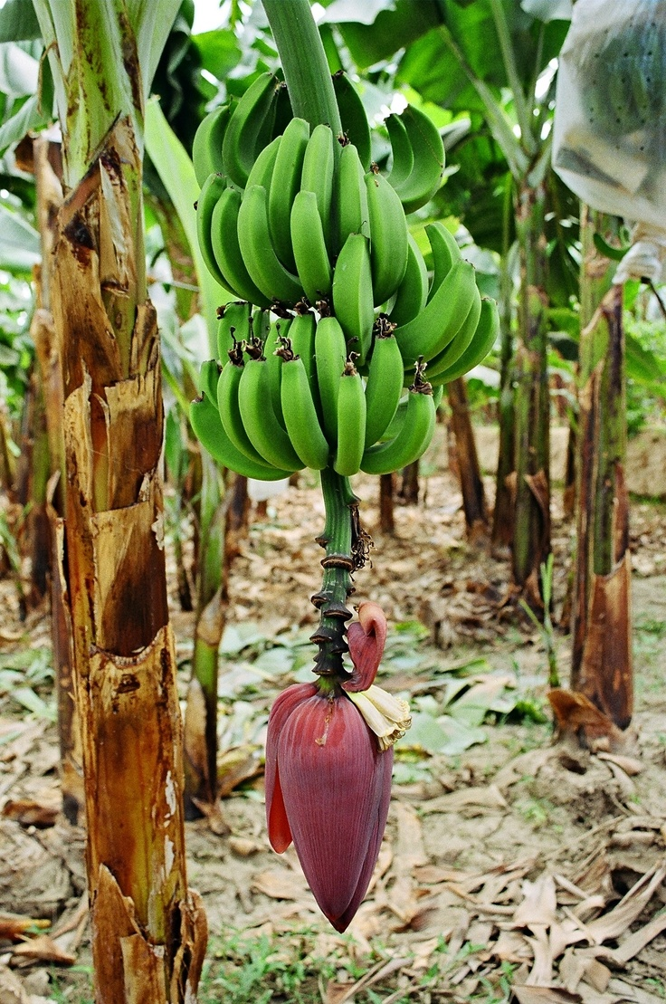 These bananas will mature and will grow to selling size on the tree. A tree yields approximately a case of bananas.