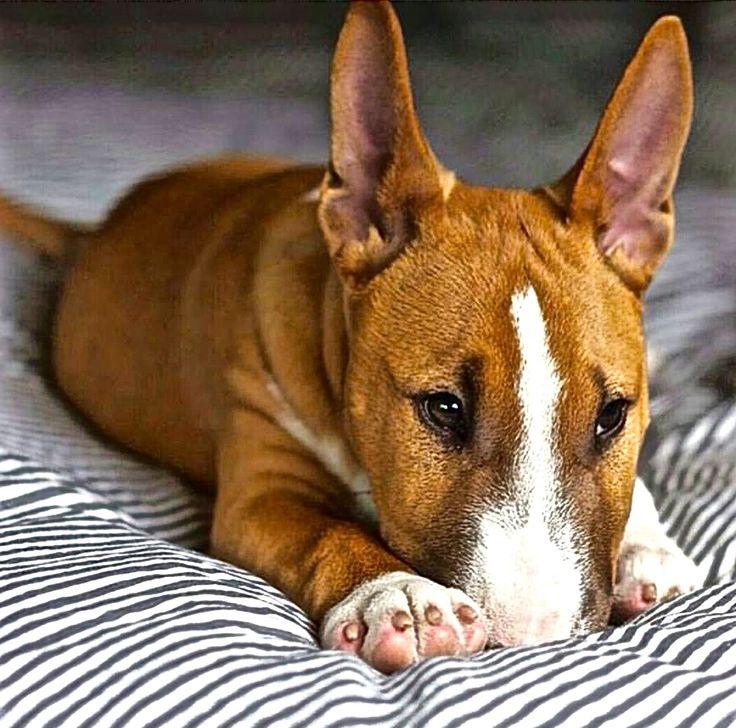 Lil Bull Terrier