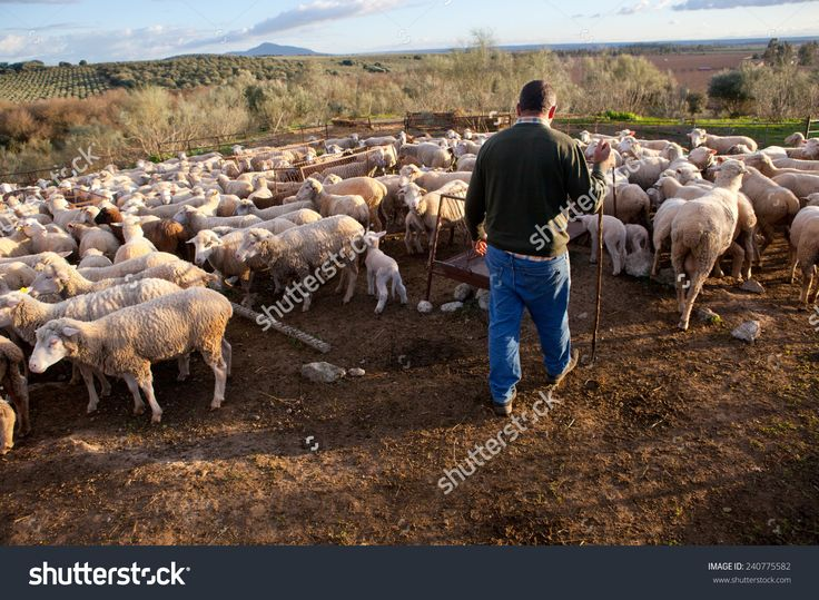 The Shepherd Standing In The Fenced Corral, Extremadura, Spain Stock Photo 240775582 : Shutterstock