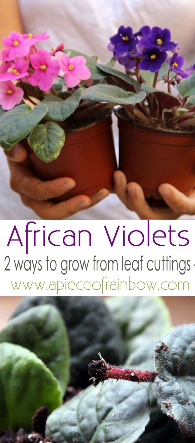 Growing your own African violets from leaf cuttings is easy, and it's a great flower for small spaces and indoor gardens. Check out this guide from A Piece of Rainbow to learn all about these robust plants.