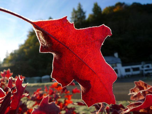 Scarlett Oak   Flickr - Photo Sharing!
