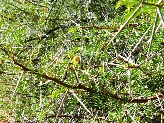 Acacia thorn.