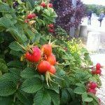 Rozenbottels. Benieuwd waar deze mooie rozenbottels vandaan komen?? Ga dan naar www.Roozfashion.nl/voler en klik op de foto!