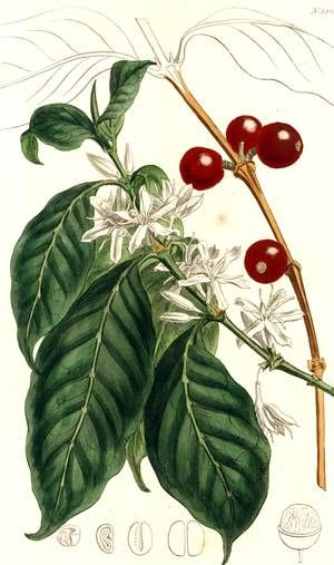 """""""Much has been written upon the effects of Coffee on the constitution, which by some are considered as highly salutary, and by others as very injurious. There is no possibility of reconciling accounts to contrary; but doubtless the effects are various upon different persons."""" Curtis' botanical magazine. v. 31-32 (1810)."""