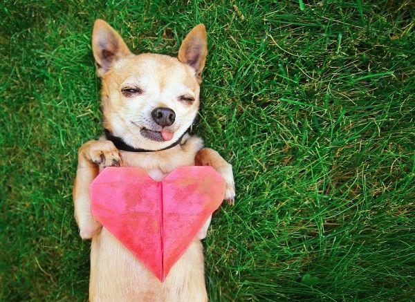 Alguns sinais clínicos podem indicar cardiopatia. Saiba como identificá-los para evitar complicações cardíacas no seu cão.