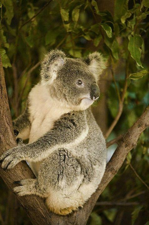 Koala bear, Queensland, Australia