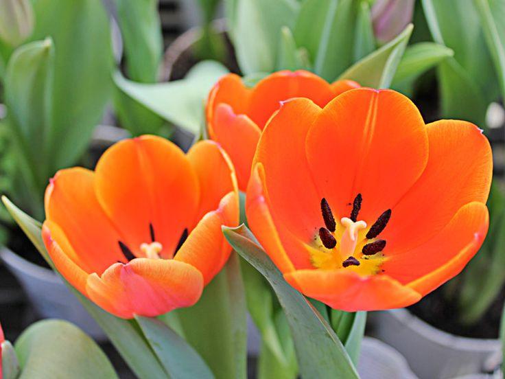 O que faço para a tulipa dar flor de novo