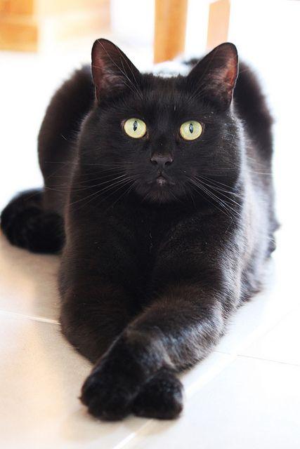Fluffy Black Cats Unlucky