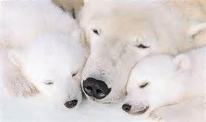 Love polar bears / Adorable familia de osos polares.
