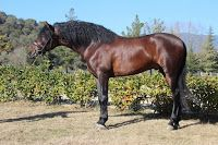 Horses of Pure Spanish Breed - PRE For Sale: PRE Spanish 480