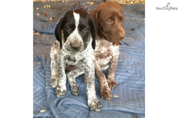 cuties! black roan and brown roan. | GSP | Pinterest