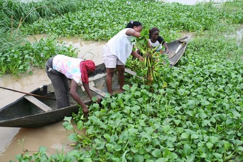 water hyacinths can be harvested