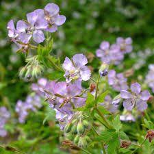 Image result for geranium phaeum lavender pinwheel