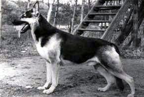 История породы восточноевропейская овчарка