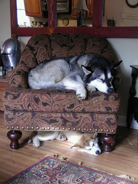 Alaskan Malamutes dogs