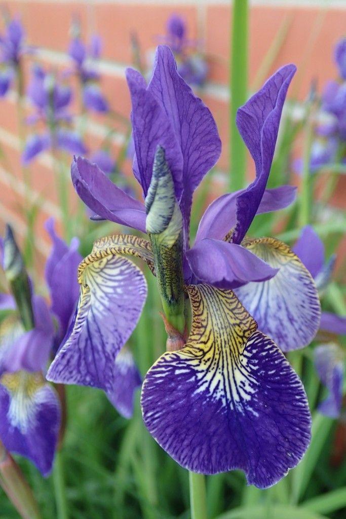 Siperiankurjenmiekka (Iris sibirica) avaa upeat kukkansa kesäkuun lopulla. Istuta perenna puolivarjoon tuoreeseen tai kosteaan, mutta hyvin vettä läpäisevään maahan.