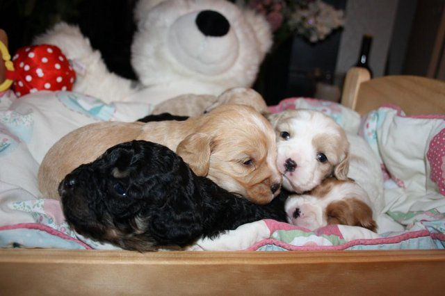 Cavachon Puppies For Sale For Sale In Whittby Ellesmere Port Cheshire Cavachon Puppies Puppies Dogs And Puppies