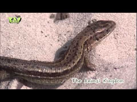 zandhagedis - duinhagedis - Lacerta agilis - sand lizard - Looking for broadcast footage? Don't shoot! Contact http://www.stockshot.nl/ ©
