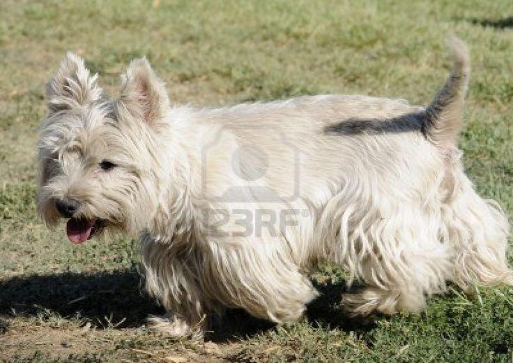 White Dog, Terrier