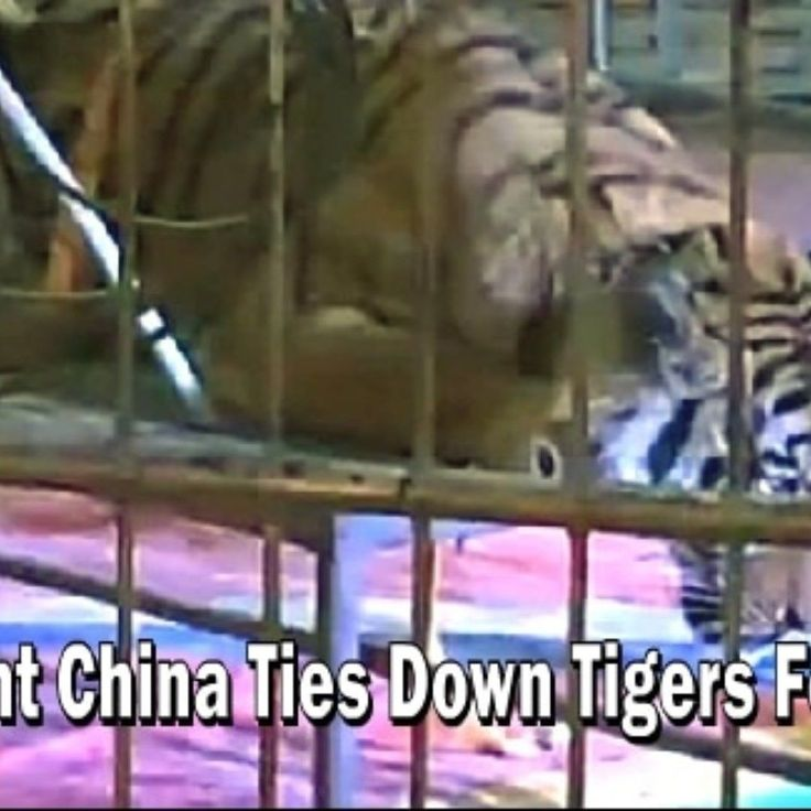 Watch The Video Here -  http://ift.tt/2xIixKT The latest footage reportedly filmed at a circus in Hunan province shows trainers tying down a Siberian tiger with a rope tied to a metal table enabling the guests to use the animal as a photo prop.  #tigers #animals #animal #tiger #china #animalcruelty #video #wildlife