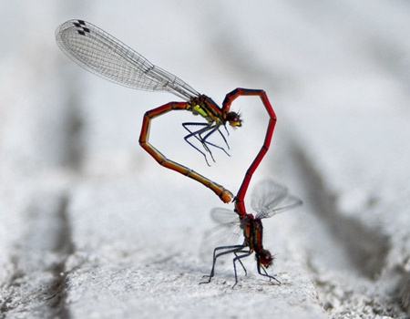"Dragonflies mating. It's called the ""wheel""...looks more like a heart to me."