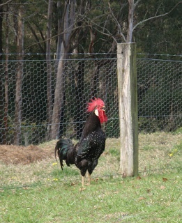 Magnificent rooster