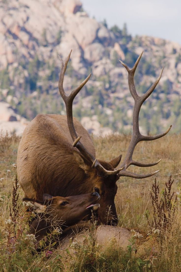 ELK....also called red deer or wapiti....found throughout much of the Northern Hemisphere, from Europe through northern Africa, Asia, and North America....a body length of 62 to 106 inches, antlers of 43 to 59 inches, a shoulder height of 29 to 59 inches, and a weight of 377 to 1056 pounds....scientists believe the elk's ivories (large canine teeth) are rudimentary tusks....while a male's antlers are growing, they are covered with a thin, fuzzy skin called velvet