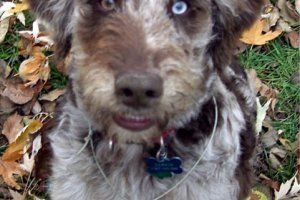 Quality, aussie, doodle, puppies for sale