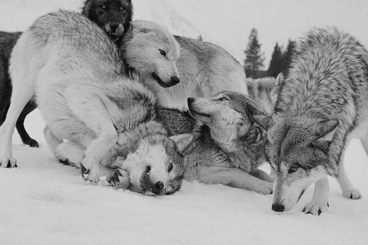 I watched the wolf pack play, love, protect. All the things I could never do myself, the alpha wolf sniffed the snow then the air his eyes landed on me. He turned away from me pushing a cub away from me. I frowned and walked away the pack