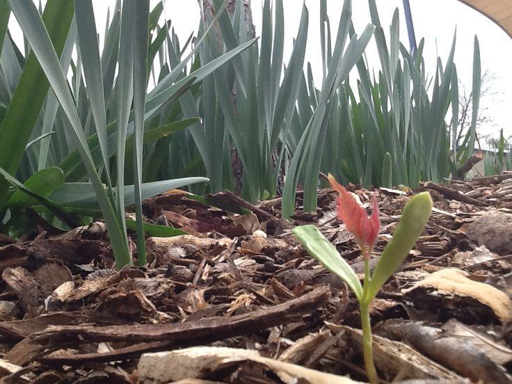 daffodil plants #daffodilplantsingardenbedmaddiesphotography