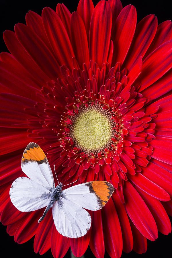 White Butterfly On Red Daisy - by Garry Gray