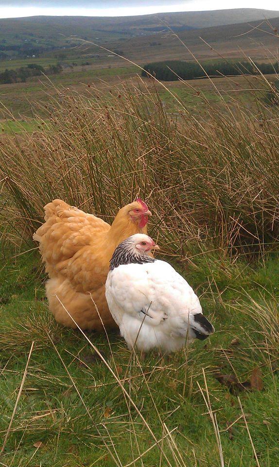 Buff  Orpington hen & Light Sussex pullet (by backyard chickens member Johnn)
