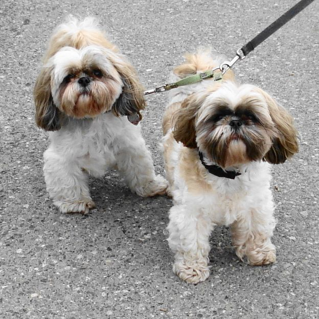 small dog shih tzu 1000 ideas about toy dog breeds on pinterest cute small 6614