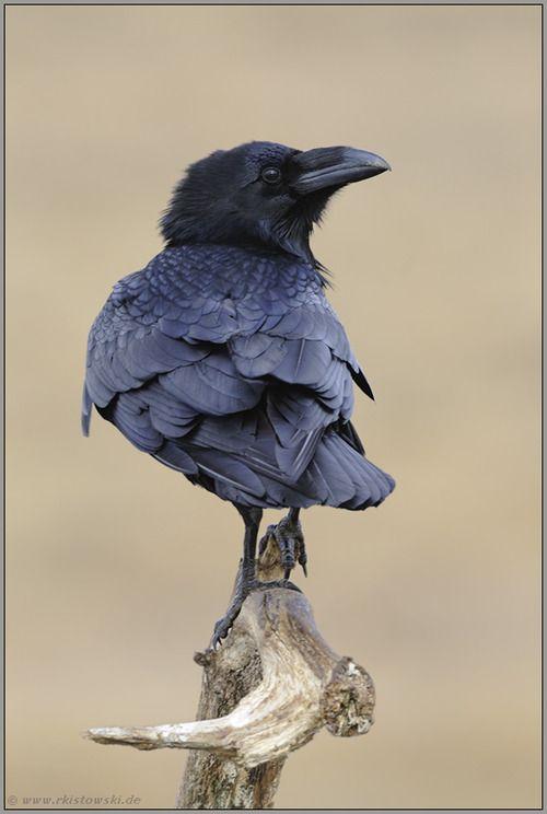 Corvid | Crow | Raven | La Corneille | Il Corvo | 烏 | El Cuervo | ворона | 乌鸦 | photography by  Ralf Kistowski