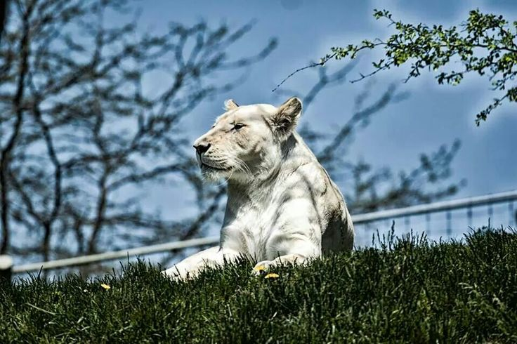 White Lion - Toronto zoo