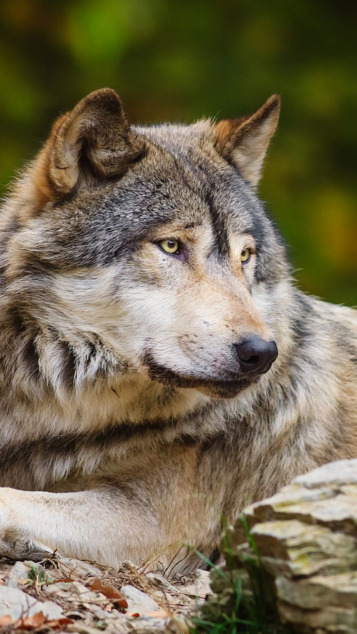 The best images about lobo wolf on pinterest wolves a wolf